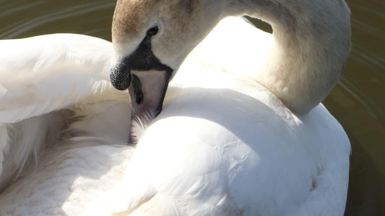 Swans (1)