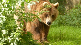 B - European Brown Bear (3)