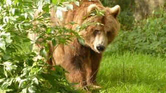 B - European Brown Bear (3)