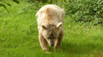 B - Syrian Brown Bear (5)