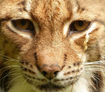 Carpathian Lynx (2)