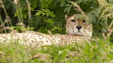 Cheetah (3)