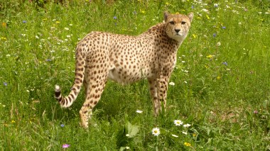 Cheetah (6)