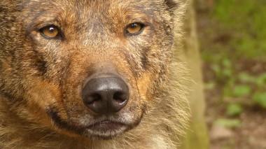Iberian Wolf (2)