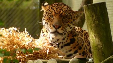 Jaguar (2)