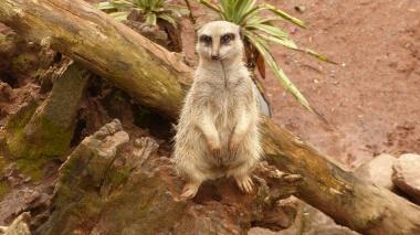 Meerkats (2)