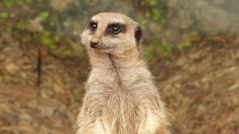 Meerkats (4)