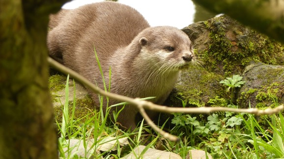 Short Clawed Otter (1)
