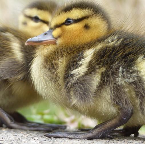 Chicks (1)