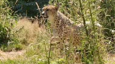 Cheetah (2)