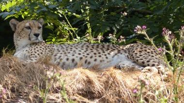 Cheetah (5)