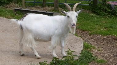Goat (1)