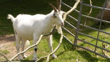 Goat (11)