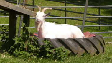 Goat (19)