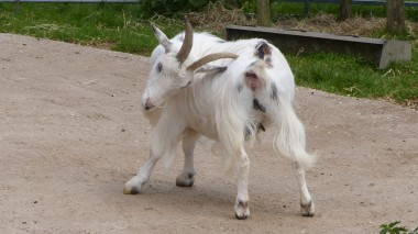Goat (3)