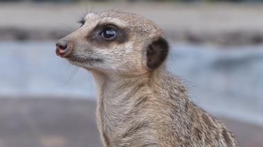 Meerkat (19)