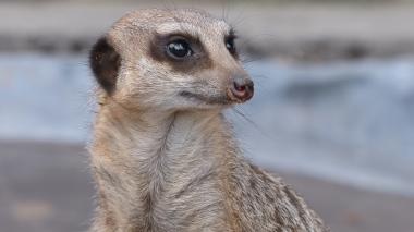 Meerkat (21)