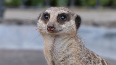 Meerkat (22)