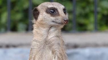 Meerkat (27)