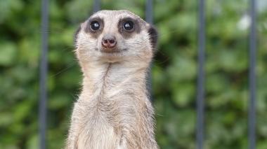 Meerkat (33)