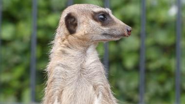 Meerkat (34)