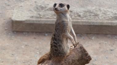 Meerkat (36)