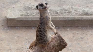 Meerkat (39)