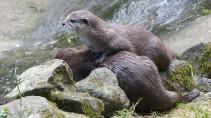 Otter (13)