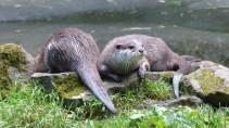 Otter (14)