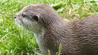 Otter (6)