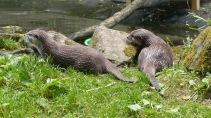 Otter (7)