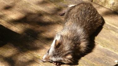 Raccon Dog (12)