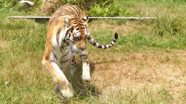 Tiger (19)
