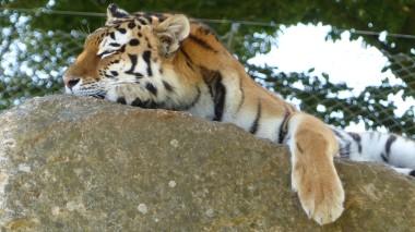 Tiger (25)