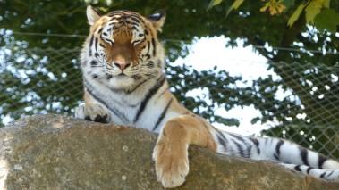 Tiger (30)
