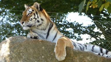 Tiger (33)