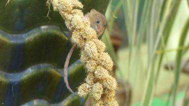 Mice (3)