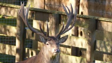 Red Deer (17)