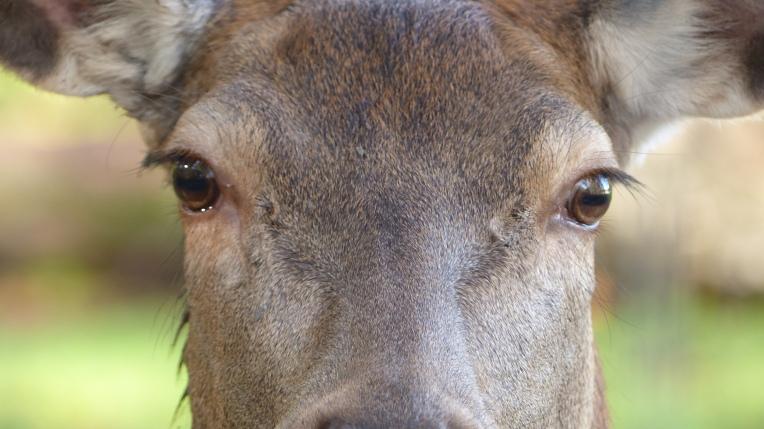 Red Deer (18)