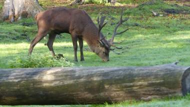 Red Deer (7)