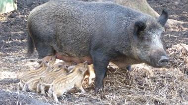 Wild Boar (1)
