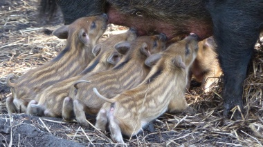 Wild Boar (2)