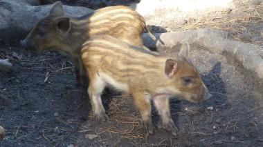 Wild Boar (3)