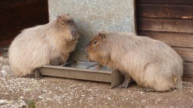 Capybara (4)