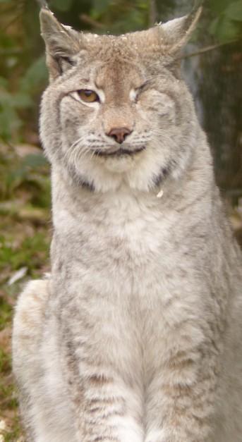 Lynx (19)