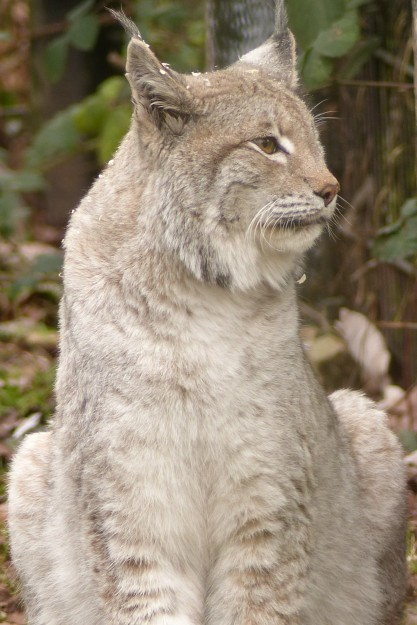 Lynx (22)