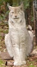 Lynx (38)