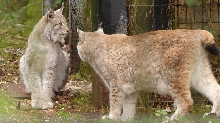 Lynx (8)
