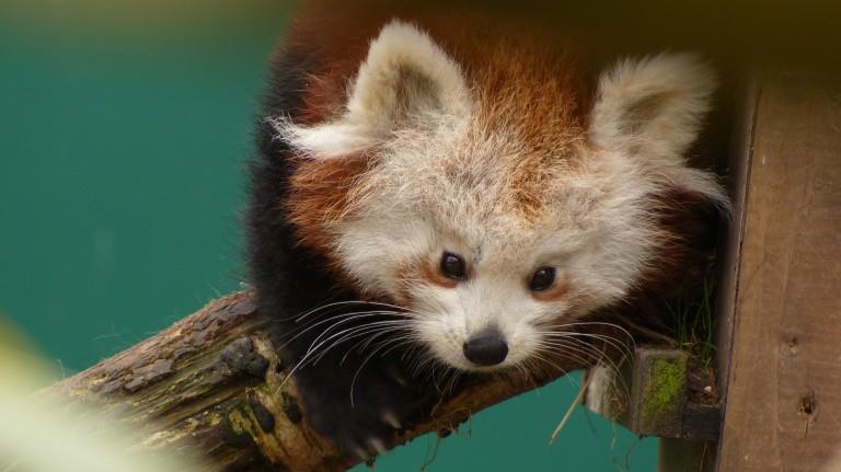 Red Panda (10)