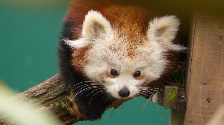 Red Panda (12)